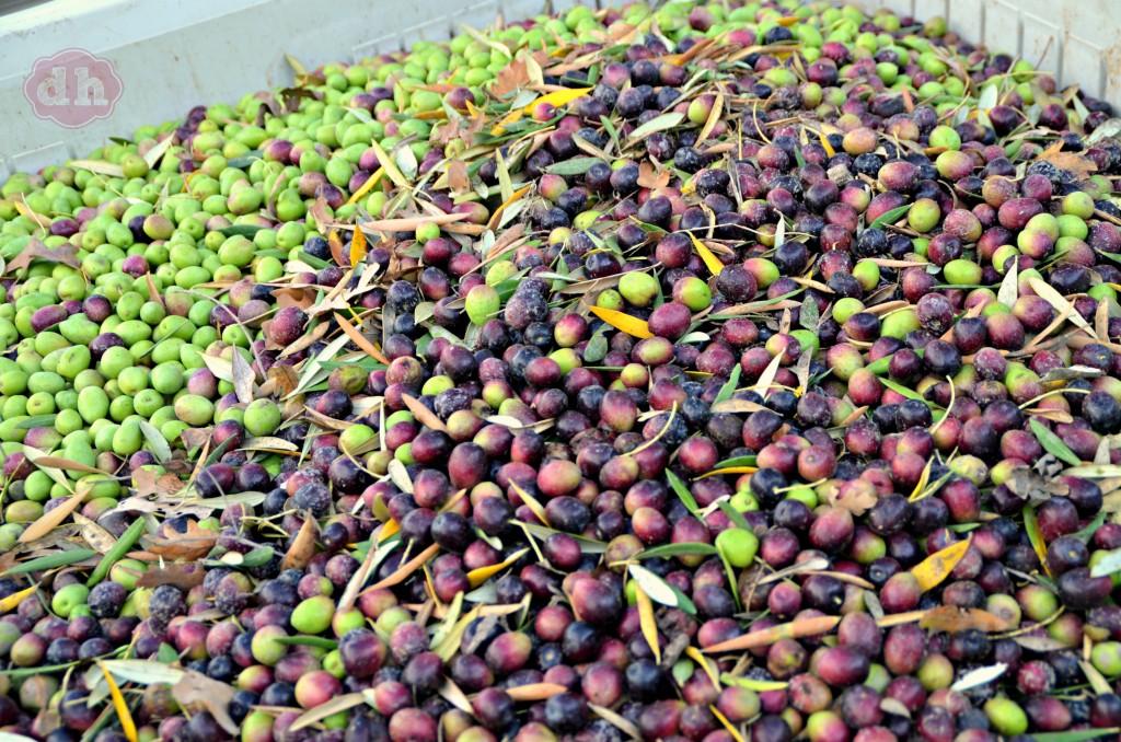 Pasolivo Olive Vineyard #travel #california