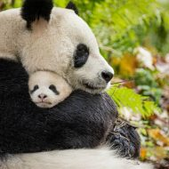 BORN IN CHINA – New Panda Clip & Fun Facts