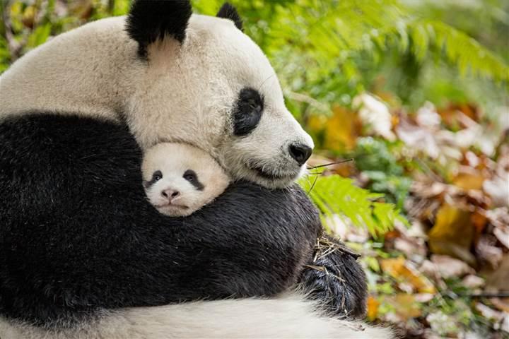 BORN IN CHINA - New Panda Clip & Fun Facts